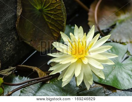Beautiful yellow water lily with green leaves.