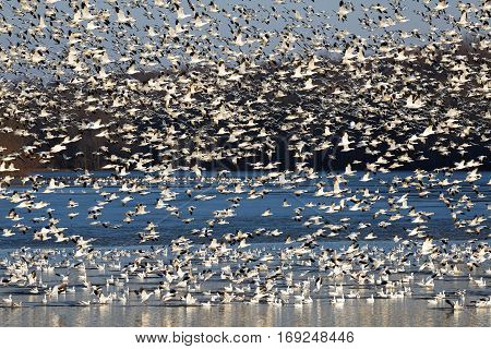 Thousands of migrating Snow Geese ( Chen caerulescens ) fly off the lake during a layover in Lancaster County Pennsylvania USA.