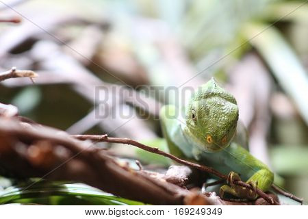 Lizard on branch stalks toward the camera