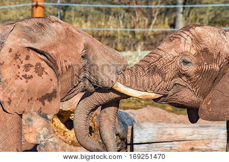 Two elephants fight until one of them is bleeding