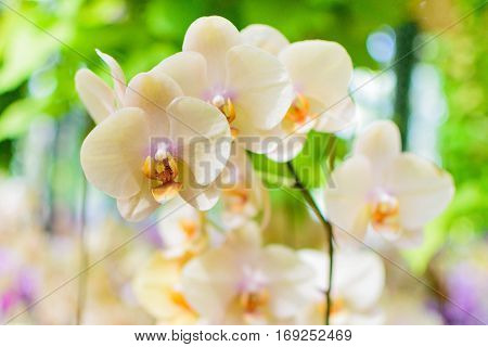 Beautiful White Cream Orchid Panicle Selective Focus