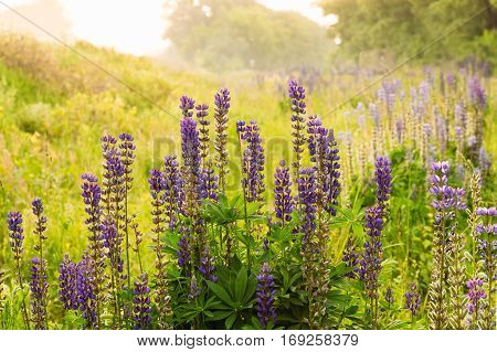 Blooming lupine flowers growing in the bush