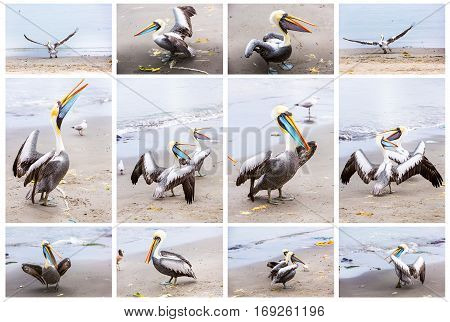Collage of pelicans on Ballestas IslandsPeru South America in Paracas National park.Flora and fauna