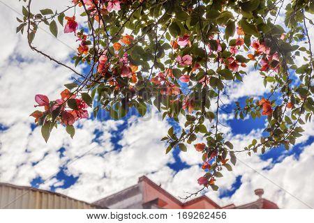 Pink Bougainvillea Green Leaves Blue Sky San Miguel de Allende Mexico Bougainvillea Spectablis