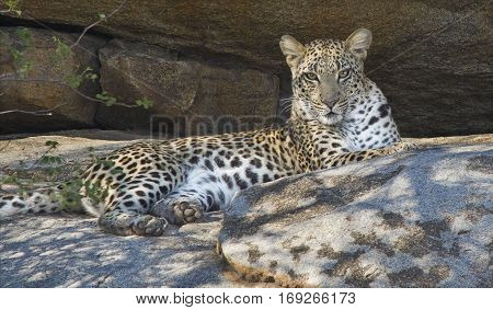 Leopard Panthera pardus resting in the rocks at midday
