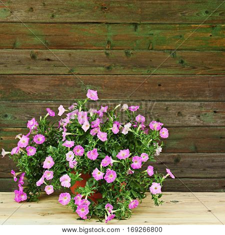Pink petunia flowers in flowerpot on wooden background. Closeup.
