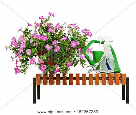 Pink petunia flowers in flowerpot on wooden bench with garden accessories isolated on white background.
