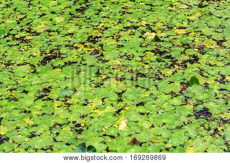 Water lily or nymphaea leaves on surface of pond