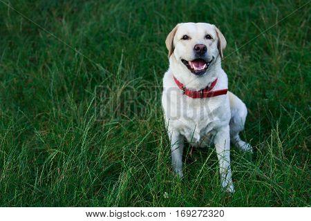 the dog breed Labrador on a green grass