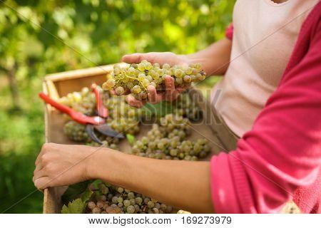 Hands of a female vintner harvesting white vine grapes (color toned image)