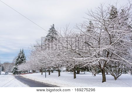 Snowed sacura trees on a street in winter Vancouver Canada