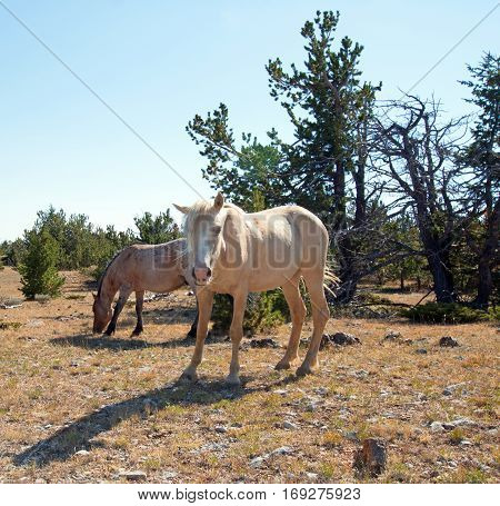 Palomino mare and Red Roan Stallion in the Pryor Mountain Wild Horse Range in Montana USA