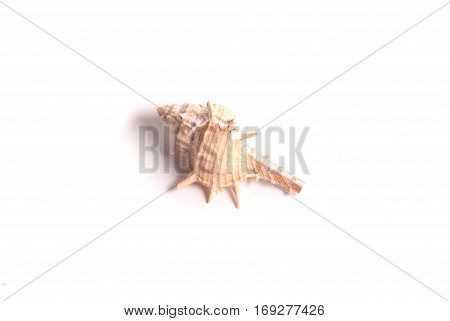 Beautiful Seashell On The White Background.