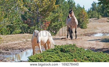 Palomino mare and Red Roan Stallion on Tillett Ridge in the Pryor Mountain Wild Horse Range in Montana