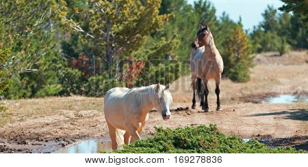 Palomino mare and Red Roan Stallion on Tillett Ridge in the Pryor Mountain Wild Horse Range in Montana United States