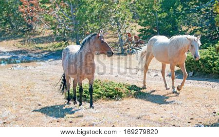 Palomino mare and Red Roan Stallion walking together on Tillett Ridge in the Pryor Mountain Wild Horse Range in Montana USA