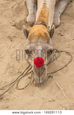 closeup of camel head with red decorate nose on sand ground