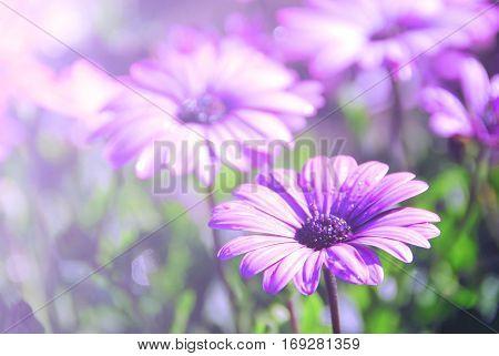 Soft blur Purple African Daisy in garden ( Osteospermum Ecklonis )