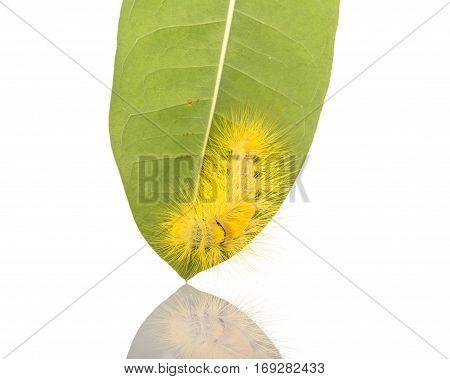 Macro Yellow Furry Caterpillar On Green Leaf. Studio Shot Isolated On White