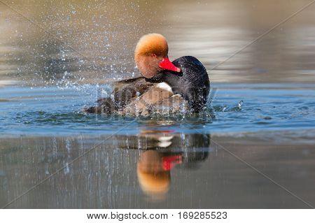 Male red-crested pochard (Netta rufina) swimming pluming splashing in water