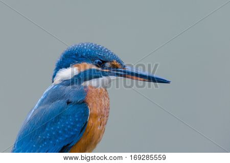 natural portrait of a female eurasian kingfisher (Alcedo atthis)