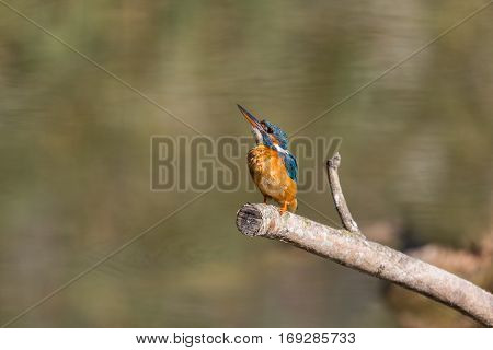 natural female common kingfisher (Alcedo atthis) sitting on branch