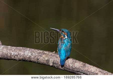 natural male common kingfisher (Alcedo atthis) sitting on branch