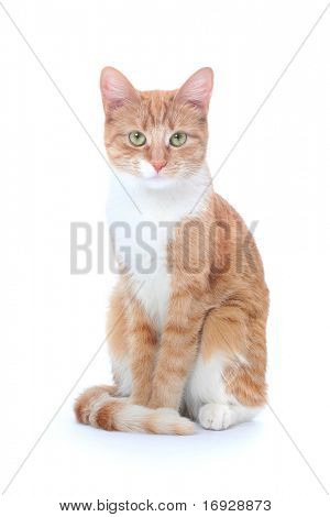nice red cat isolated on white poster