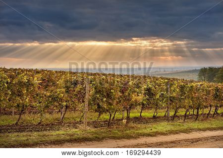 Autumn vineyards on the background of blue sky