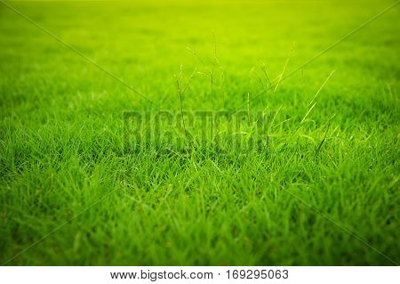 Morning sunlight shines on the front lawn of green grass, green grass background.