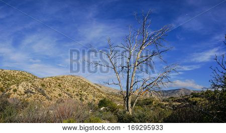 Tall tree in Mojave Desert California wilderness and hills.