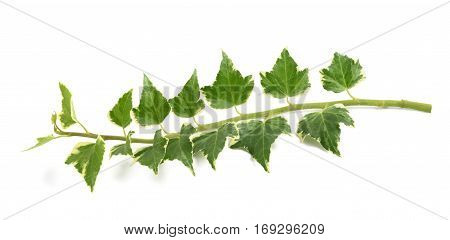 Ivy branch isolated on a white background