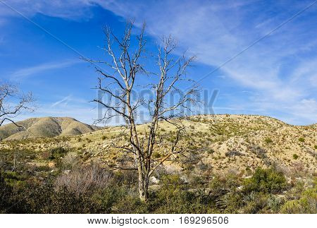 Single dead tree stands in a dry riverbed near Palmdale California.