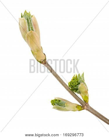 sprouted branch isolated on a white background