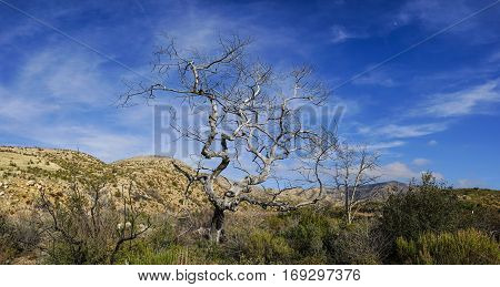 Old dead tree stands above green growth in southern California's Mojave desert wilderness.
