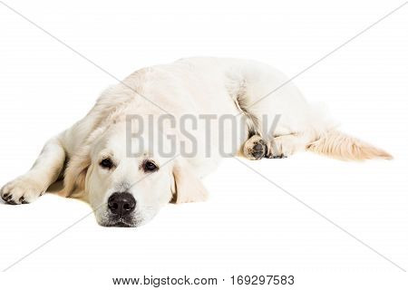 Labrador Retriever on a white background. Labrador lies. The dog is looking at the camera