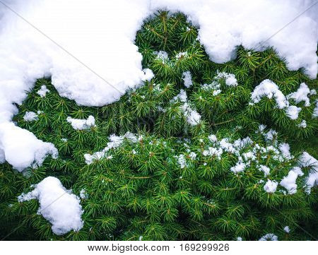 Winter natural background with conic fir branches in the frost. Layer of snow on branches of conic fir with hoar-frost. Christmas evergreen conic fir tree with fresh snow.