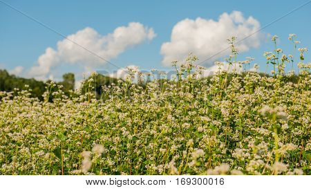Flowering buckwheat on a background of blue sky