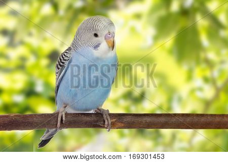 Young Blue Budgie In Roost On A Green Background.