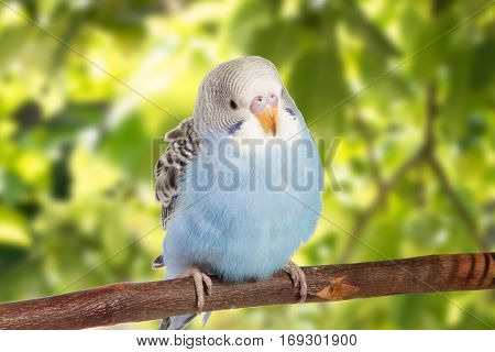 Young Blue Budgie In Roost On A Green Background