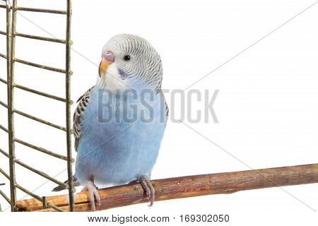 Young Blue Budgerigar In Roost On A White Background Isolated.