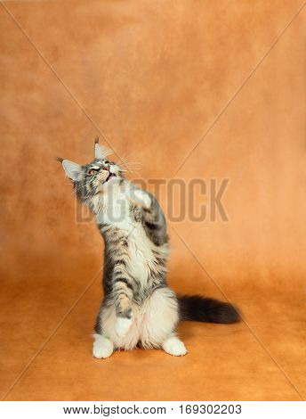 Portrait of kitten Maine coon looking up on brown background