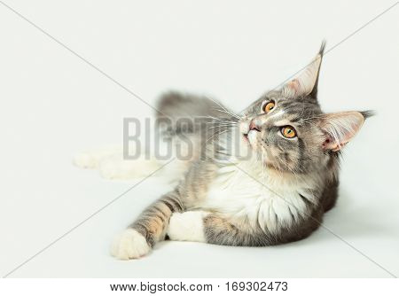 Portrait of kitten Maine coon on light grey background