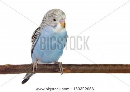 young blue budgerigar in roost on a white background