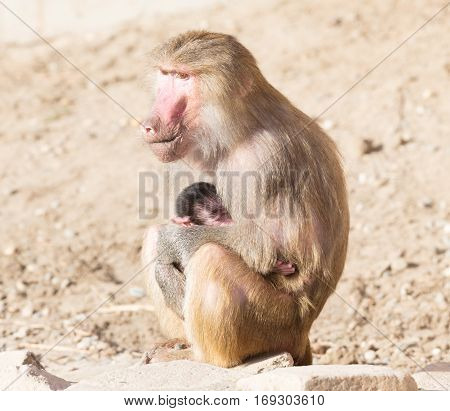 Baboon Mother And Her Little One