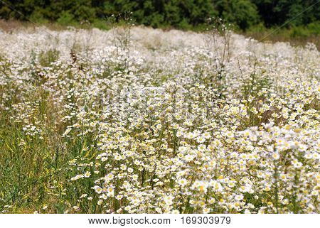 Summer landscape with a field. flowers camomiles on meadow. blossoming wildflowers chamomiles