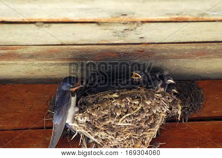 Swallow mom feeding young baby birds in the nest. Mother swallow feeding her babies.