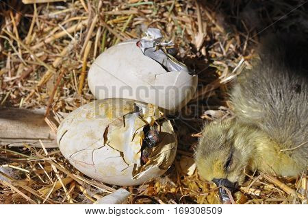 Goose coming out of a egg. Eggs showing cracks. Hatching eggs