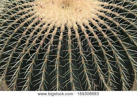 Closeup of Echinocactus Grusonii cactus, cactacea background and texture