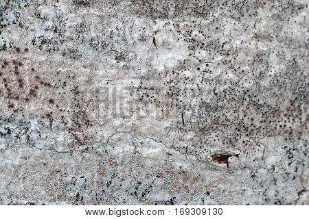 Old beech tree bark covered with lichen macro photograph for closeup texture